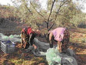 Сбор оливок в Турции